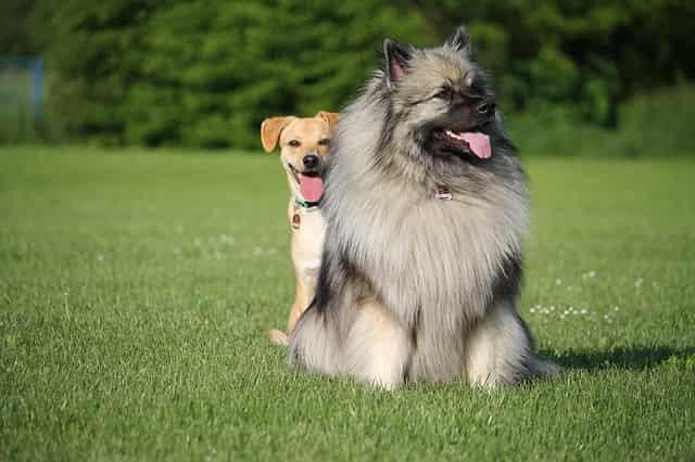 razas peludas perros hipotiroidismo