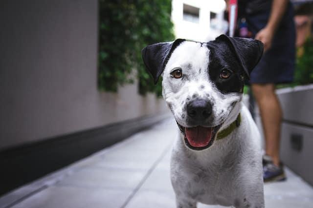 terrier hipotiroidismo